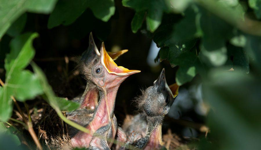 In mei leggen alle vogels een ei: het broedseizoen