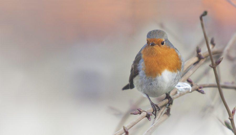 Hoeveel vogels heeft u in uw achtertuin? Tips voor een goede leefomgeving voor vogels