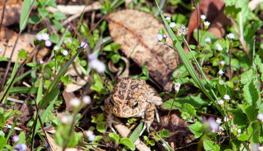 De rugstreeppad: onschuldig dier of lastpak?